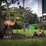 Camel, Nairobi, Kenya, 2011