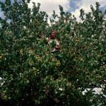 Apricot Tree, Lesotho, 2004