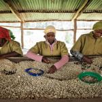 Fortune, Coffee Industry, Rwanda