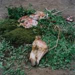 Slaughter of Lpirianian's camel, Ngurunit, Kenya, 2006